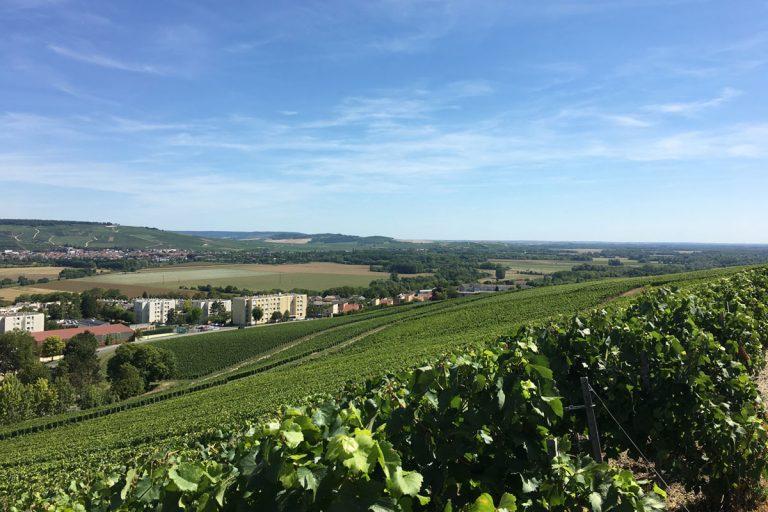 Bild zeigt die Reben von Champagne Pommery